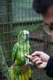 Попугай трясет руку Стоковые Изображения RF