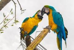 Попугай целуя в влюбленности стоковое фото rf