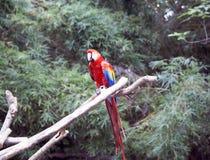 Попугай Стоковое Изображение RF