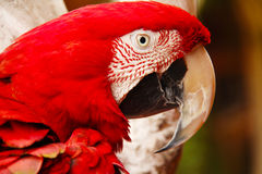 Попугай Стоковая Фотография RF