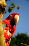 Попугай Стоковое Изображение