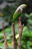 Попугай Alexandrine Стоковое Изображение RF