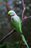Попугай Alexandrine Стоковое Фото