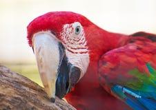 Попугай Ara стоковое изображение