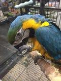 Попугай Ara Стоковая Фотография