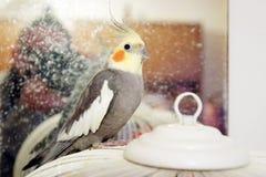 Попугай Cockatiel стоя на клетке Стоковое Изображение
