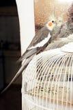 Попугай Cockatiel Стоковые Изображения