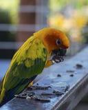 Попугай conure Солнця ест Стоковое Изображение RF