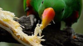 Попугай Eclectus ест сахарный тростник акции видеоматериалы