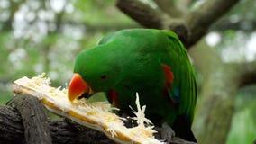 Попугай Eclectus ест сахарный тростник видеоматериал