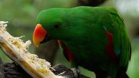 Попугай Eclectus ест сахарный тростник сток-видео