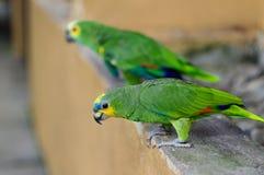 Попугай 2 Eclectus зеленый стоя на каменных перилах Стоковое Фото