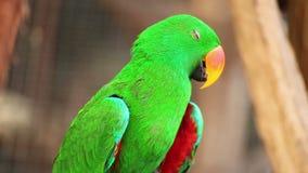 Попугай Eclectus, научное имя акции видеоматериалы