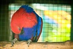 Попугай Eclectus на ветви стоковые изображения rf