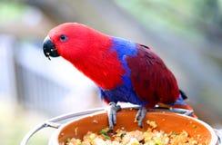 Попугай Eclectus на фидере птицы Стоковое фото RF