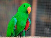 Попугай Eclectus, Стоковое Изображение