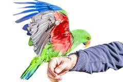 Попугай Electus Стоковые Фотографии RF