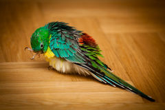 Попугай - haematonotus psephotus Стоковые Фотографии RF