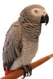 Попугай Jaco на белой предпосылке стоковые фото