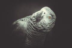 Попугай Jaco Стоковое Фото
