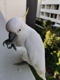 Попугай Kakado стоковое изображение rf