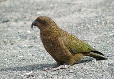 Попугай kea горы стоковое фото rf