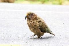 Попугай Kea идя на дорогу, Новую Зеландию Стоковые Фотографии RF