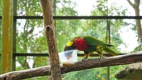 Попугай Lorikeet радуги подает молоко в парке птицы KL, Малайзии видеоматериал