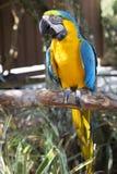 попугай Mac-caw Стоковые Фото