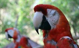 Попугай Neotropical Стоковое фото RF