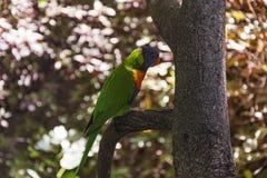 Попугай Ozherelovy при зеленый цвет сидя на ветви дерева Стоковое Изображение RF