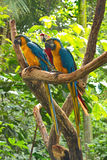 3 попугая ары на ветви Стоковые Изображения