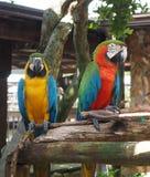 2 попугая ары садить на насест на деревянном лимбе Стоковое Фото