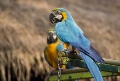 2 попугая ары сидят и едят на окуне Стоковая Фотография RF