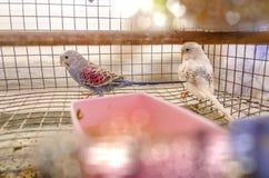 2 попугая в клетке Стоковые Изображения RF
