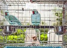 2 попугая в birdcage Стоковое Изображение RF