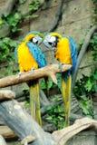 2 попугая совместно на ветви Стоковое фото RF