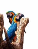 2 попугая с белой предпосылкой Стоковое Изображение