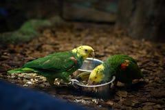 2 попугая Lorikeet есть параллельно Стоковая Фотография RF
