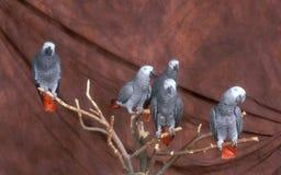 Попыгаи африканского серого цвета Стоковое фото RF