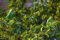 Попыгаи длиннохвостого попугая Ringnecked индейца Стоковое Фото