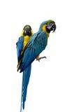 попыгаи macaw Стоковое Изображение RF