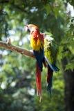 попыгаи macaw стоковая фотография rf