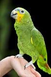 попыгай Амазонкы взвалил желтый цвет стоковые изображения