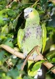 попыгай Амазонкы голубой, котор противостоят стоковое изображение rf