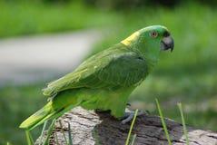 попыгай Амазонкы зеленый Стоковое фото RF