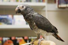 Попыгай африканского серого цвета в магазине любимчика птицы стоковое фото