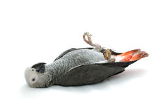 попыгай африканского серого цвета Стоковая Фотография