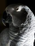 попыгай африканского серого цвета стоковое изображение