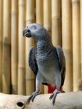 попыгай африканского серого цвета Стоковые Изображения RF
